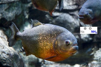 nanh2-is-like-a-hungry-ferocious-piranha