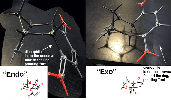 using models to show difference between endo and exo where endo is more cup shaped and exo is less